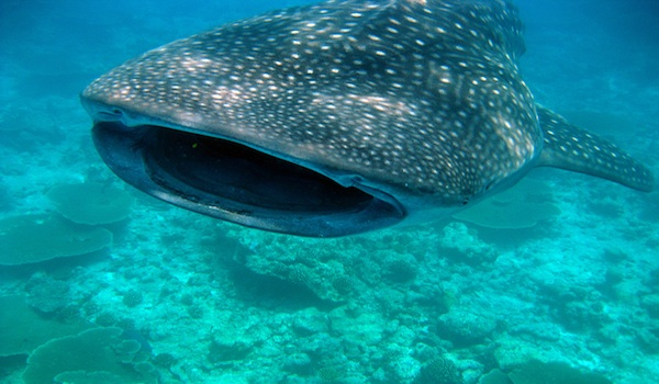scuba diving Cebu with Whale_sharks
