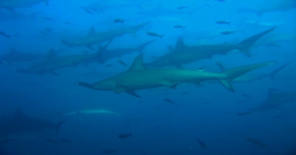 Scuba_dive_galapagos_with__with_hammerhead_sharks