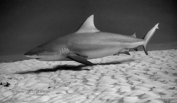 Bull_shark_playa_del_carmen