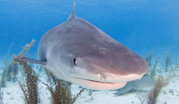 Tiger_shark_bahamas