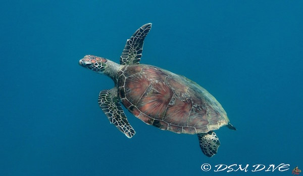 Turtle_gili_islands