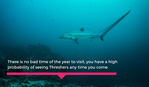 Threser_sharks_malapascua