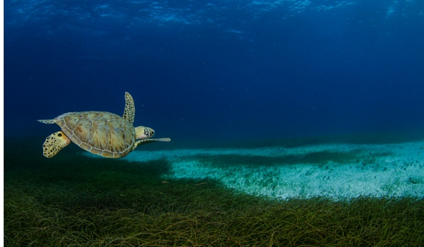 Turtle_belize