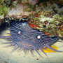 Thumb_splendidtoadfish_found_when_diving_cozumel