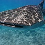 Thumb_whale_shark_close