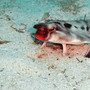 Thumb_galapagos_red-lipped_bat_fish