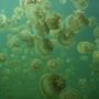Thumb_jelly_fish_lake_palau
