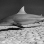 Thumb_bull_shark_playa_del_carmen