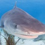 Thumb_tiger_shark_bahamas