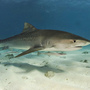 Thumb_tiger_shark