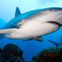 Thumb_scuba_dive_with_reef_sharks