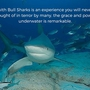 Thumb_diving_with_bull_sharks