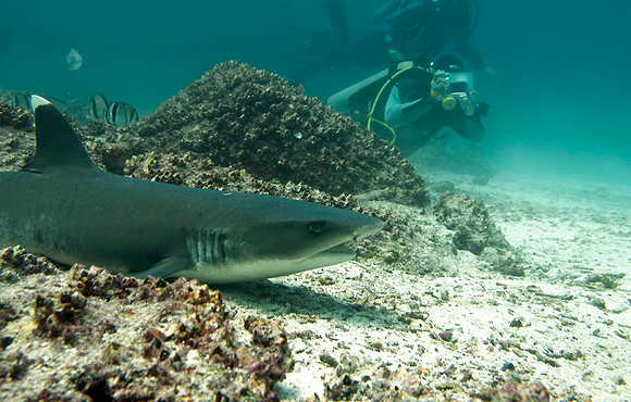 white tip reef shark galapagos
