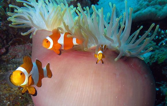 clown fish cebu