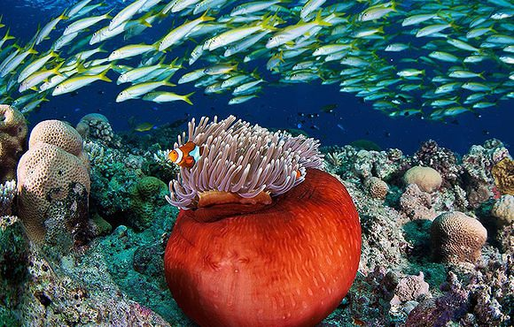 clown fish australia