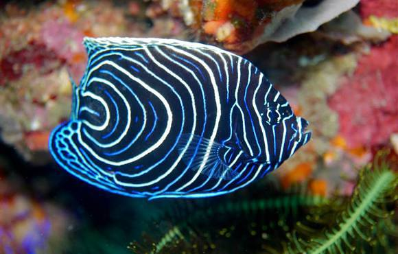 blue angel fish