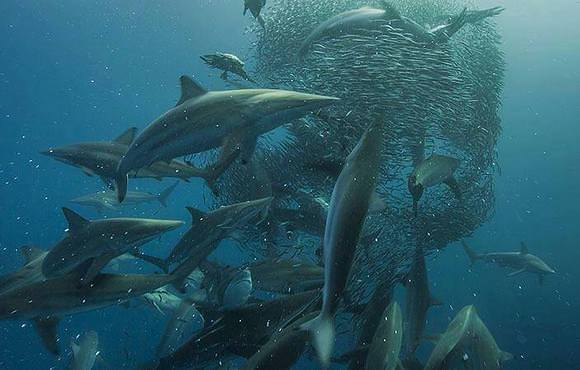 shark at sardine run south africa