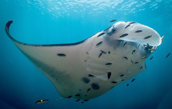 Manta_ray_at_one_of_Komodo_s_cleaning_stations
