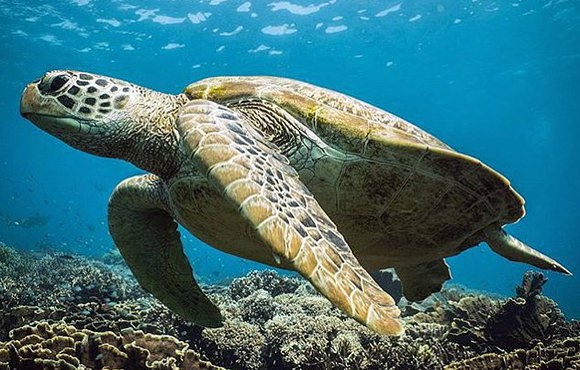 green_sea_turtle_