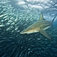 black_tip_reef_shark_
