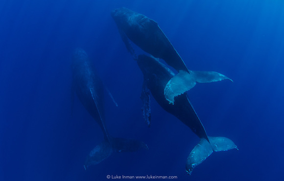 whale_pod_underwater_sea_of_cortez