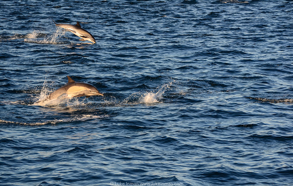 dolphins_sea_of_cortez