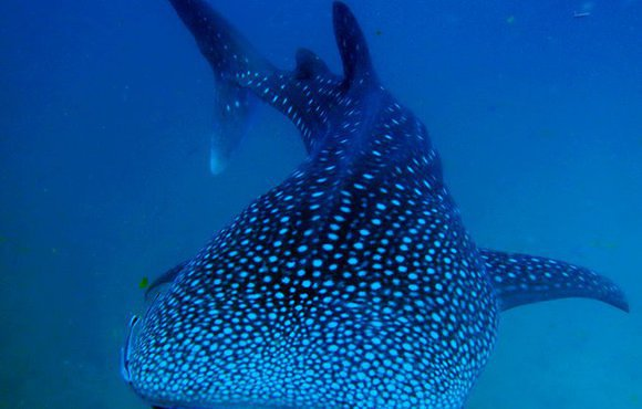 Whale shark Sail Rock