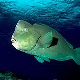 bump head parrotfish