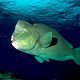 Thumb_bumphead_parrotfish