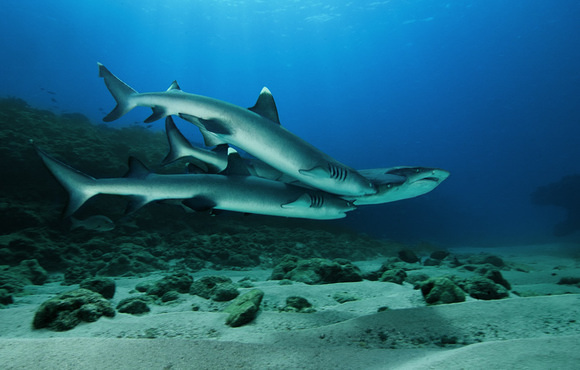 White tip shark Lakshadweep