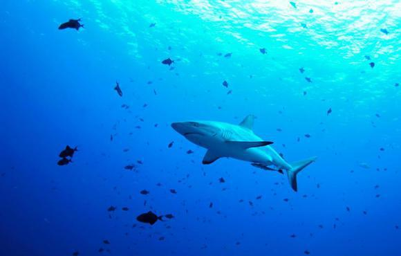Palau reef shark