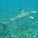 black tip reef shark koh tao