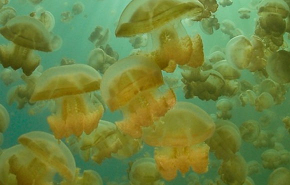 Jelly fish Lake Palau