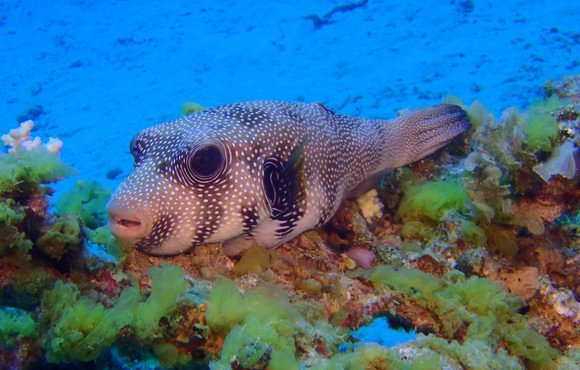 red sea, dahab puffer
