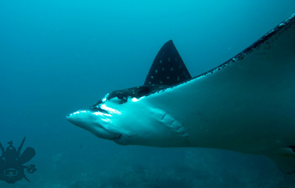 eagle ray Mexico