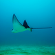 galapagos spotted eagle ray