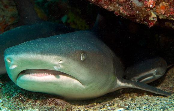 galapagos white tip reef shark