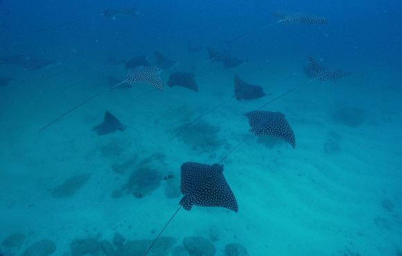costa rica spotted eagle ray