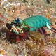 manthis shrimp, unkomaas