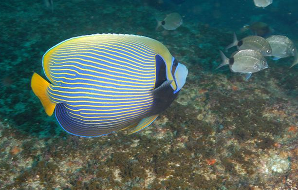 angelfish south africa