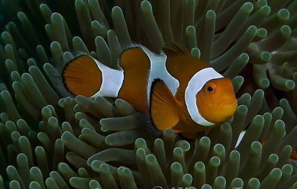 clownfish gili air