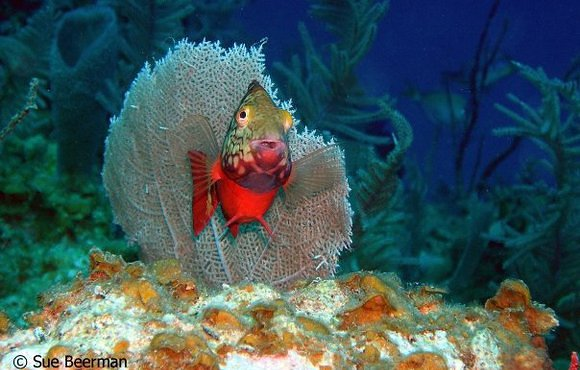 Stoplight_Parrotfish
