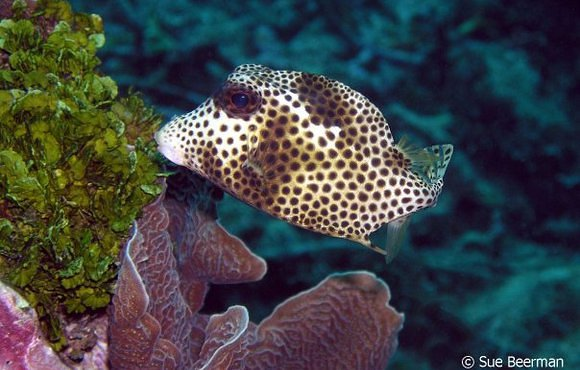 Juvenile_Smooth_Trunk_Fish