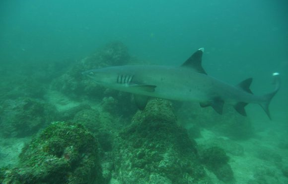 white_tip_reef_shark
