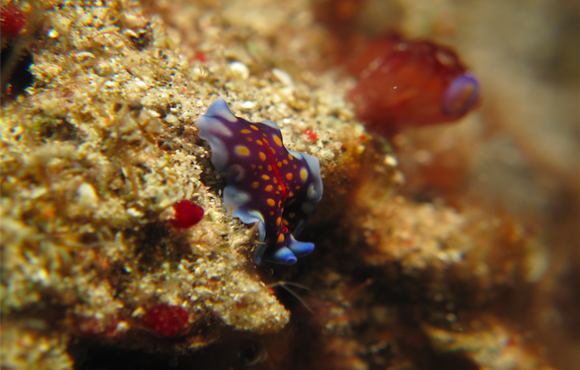nudibranch_