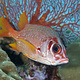 soldier_fish_palau