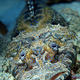 crocodile_fish_palau