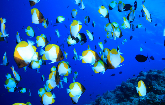 butterfly_fish_palau