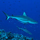 sharks_blue_corner_palau