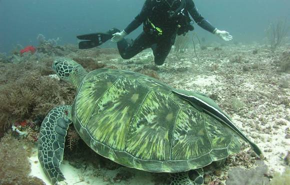 sea_turtle_cebu